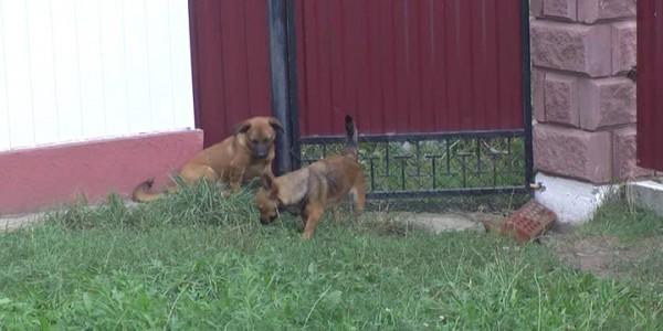 Вбивство собак у Стриганах